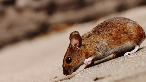 Missing alcohol, embankment damage: Blame it on rats!
