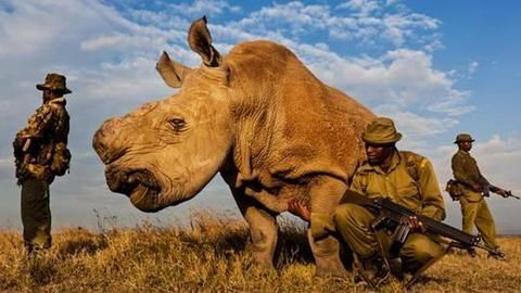 World's last northern male rhino joins Tinder to find mates