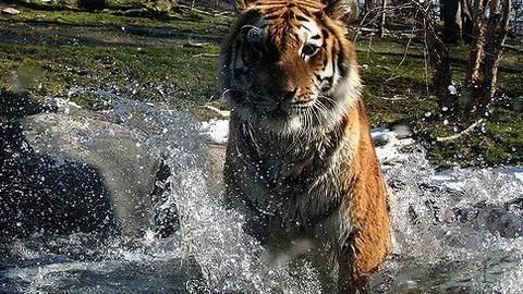 Pilibhit locals faking fatal tiger attacks for compensation?