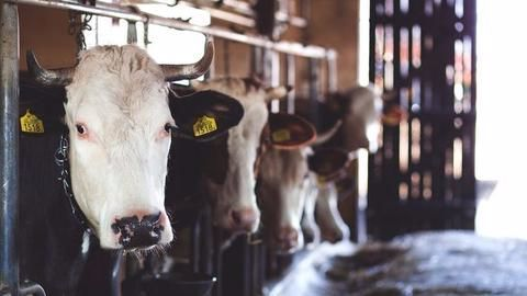 UP- Cow slaughter to be punishable under National Security Act