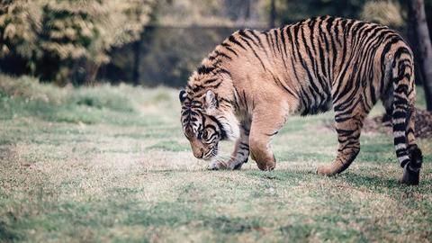 Rajasthan bringing in hi-tech system to monitor tiger population