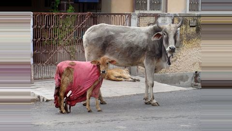 SC directs Centre, states to take action against 'cow vigilantes'