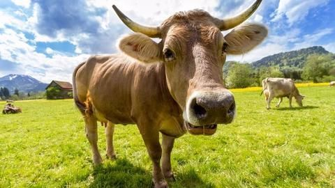 Cows might just hep the fight against HIV