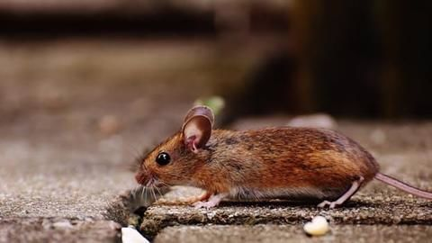 Nine students ill after dead rat found in midday meal