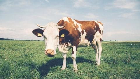 Cow to become India's national animal?