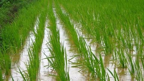 Early onset of monsoons: Kharif crop sowing receives a boost