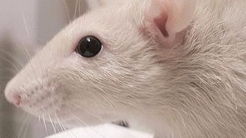 Mapping the rat's brain activities