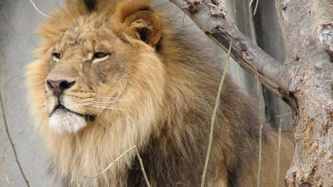 Gujarat's Gir National Park: Lion population increases by 15%