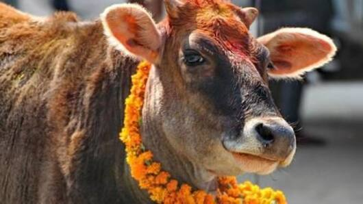 Cows in Uttarakhand get HC's parental protection