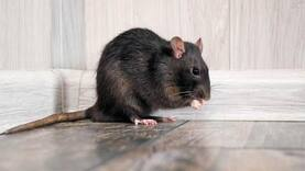 Bihar: In dry state, rats are drinking seized alcohol