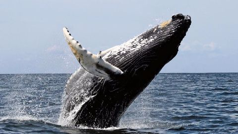TN experiences curious case of Baleen whales