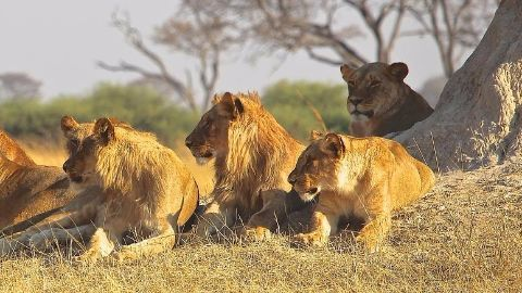 Stray lions on the loose in Nairobi