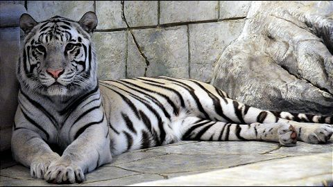The Exotic White Tiger