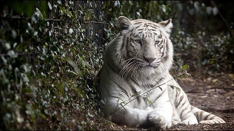 Only few white tigers left in the world
