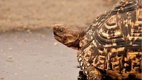 Largest seizure in Mumbai: Woman held for smuggling 523 tortoises