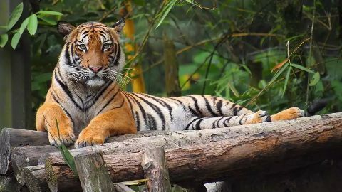World tiger population rises after almost a century