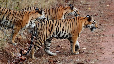 India may relocate tigers to Cambodia