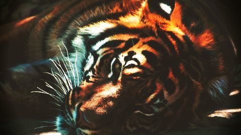 Temple accused of tiger exchange and illegal breeding