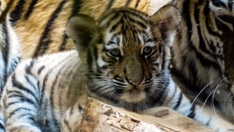 40 dead tiger cubs found in temple freezer