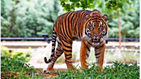 Forest Department launches search operation for missing Nagpur Sanctuary tiger