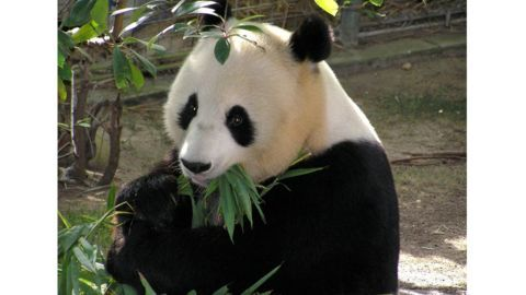 Giant Panda population over the years
