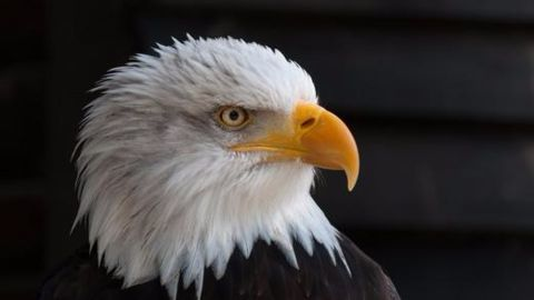 Netherland's drone-hunting eagles