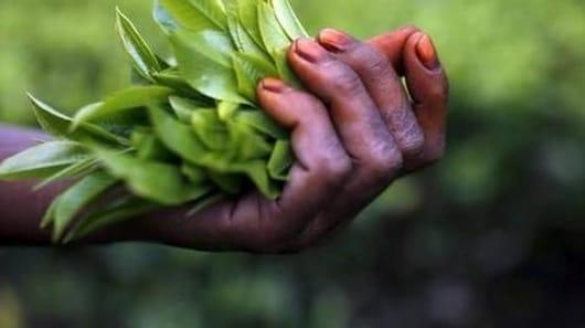 Arunachal tea variety fetches Rs. 40,000 per kg