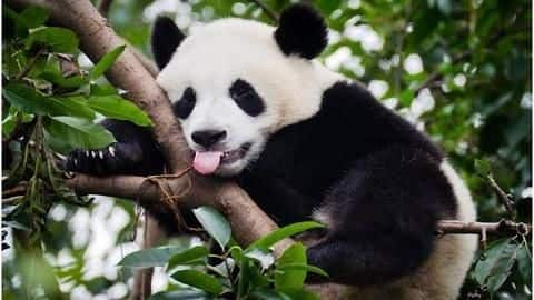 Love pandas? Here are things you should know about them
