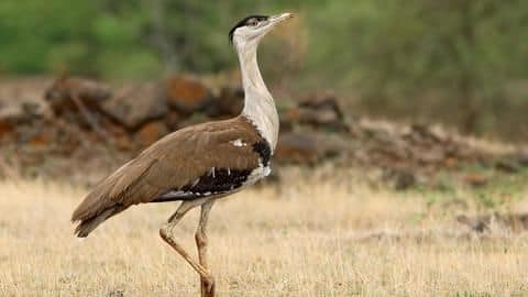 India succeeds in breeding the critically endangered Great Indian Bustard