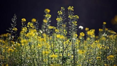 Genetically-modified Mustard to be commercially cultivated