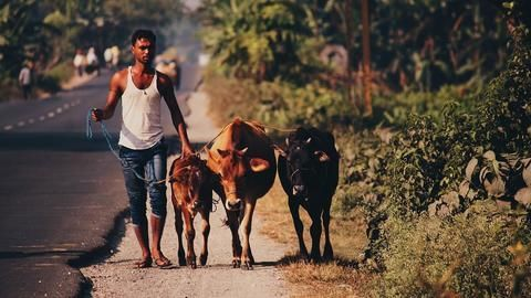 Centre considers Project Cow, like Project Tiger