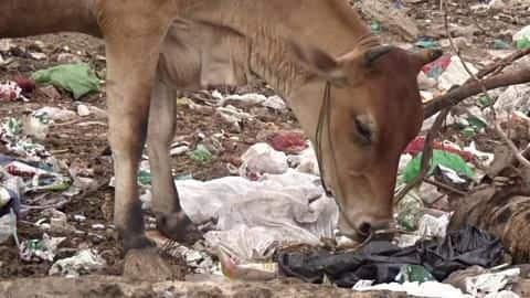 Vets remove 52 kg plastic from cow after 5-hour-long surgery