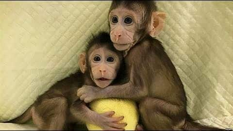 Chinese scientists successfully create monkey clones