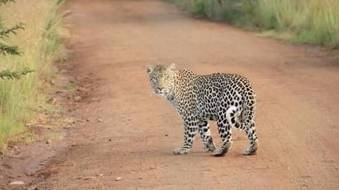 Leopard spotted crossing a street in Mumbai