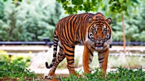 Why are Karnataka's tigers dying?