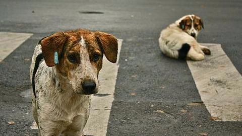 Stray dogs for surveillance in Thailand?