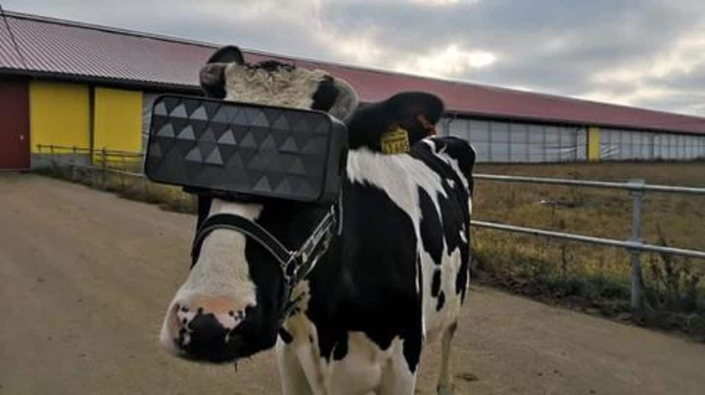 These cows were asked to wear a VR headset!