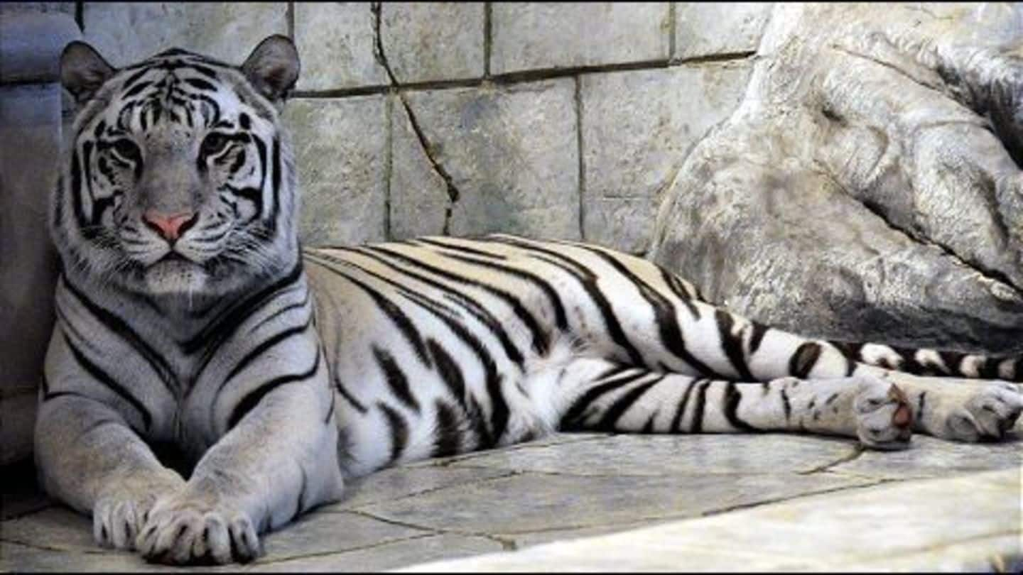 World's first white tiger sanctuary opened