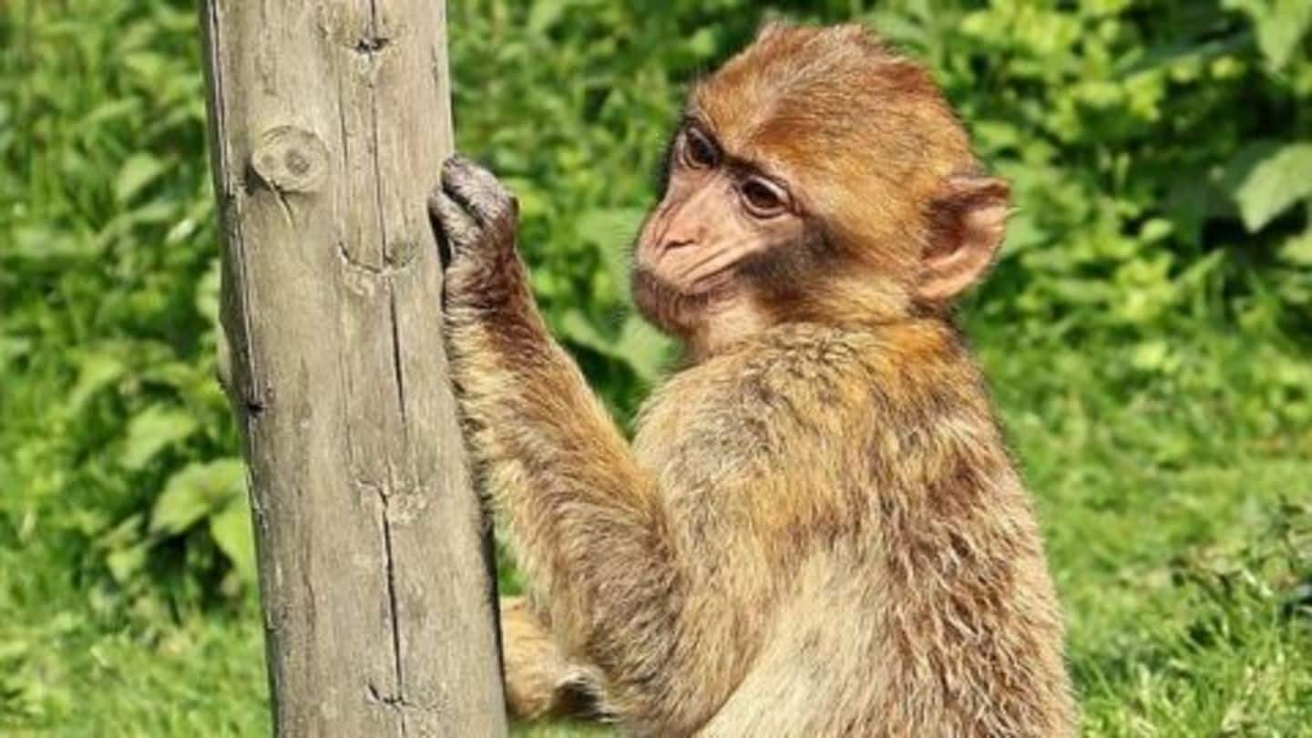 Himachal offers Rs.300 for killing a monkey