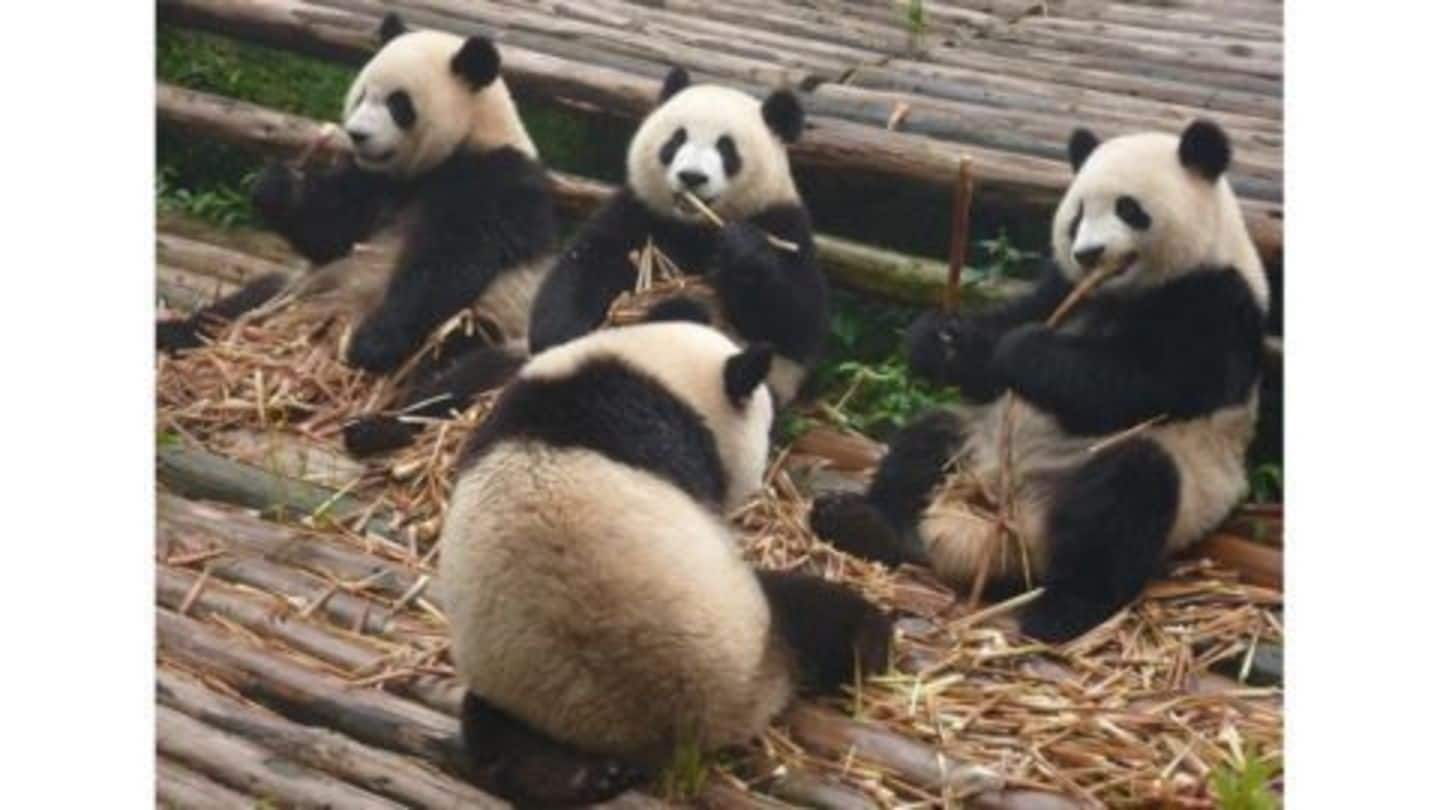 Giant pandas are no longer 'endangered' in China