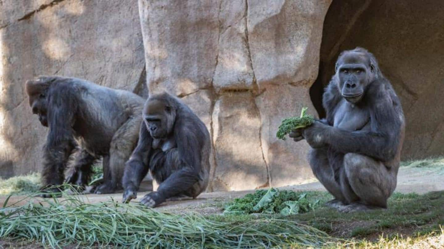 Two Gorillas at San Diego Zoo Test Positive For Coronavirus