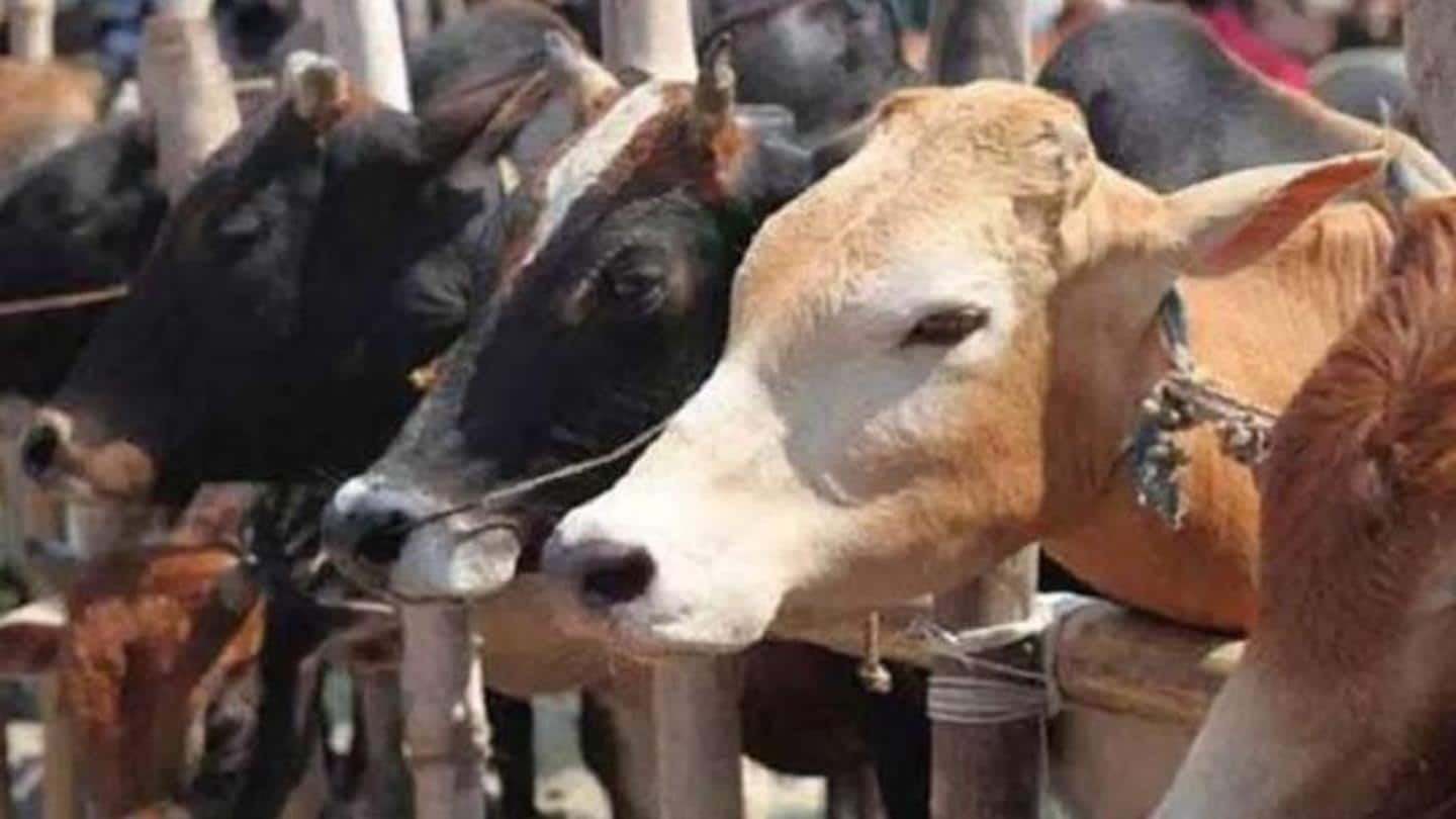 MP to form 'cow cabinet' for conservation, promotion of cattle